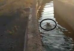 Sulama kanalına düşen yavru ayı vatandaşların yardımıyla kurtuldu