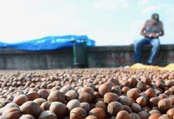 Karadenizli fındık üreticileri kurutma mesaisinde