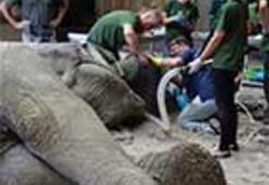 Polonya'da 5,5 tonluk filin dişi ameliyatla çekildi