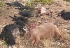 Yıldırım düştü, 12 keçi telef oldu