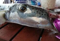Çok önemli balon balığı uyarısı Parmak koparır