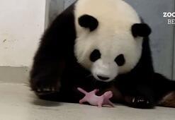 Almanyanın ilk pandaları doğdu: Meng Mengin ikizleri oldu