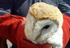 Aracın çarptığı peçeli baykuşa tedavi