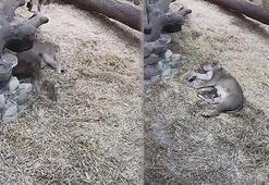 Nesli tükenmekte olan Asya Aslanı, 3 yavru doğurdu