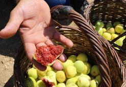 Hasadına başlanan Melli inciri için hedef dış pazar