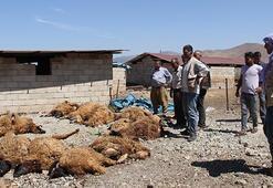 Ahıra giren kurtlar 15 koyunu telef etti