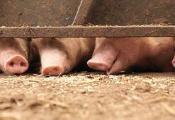 Filipinlerde Afrika domuz vebası alarmı