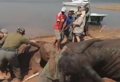 Çamura saplanan yavru fil 2 gün sonra böyle kurtarıldı