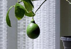Evde yetiştirebileceğiniz meyve ağaçları