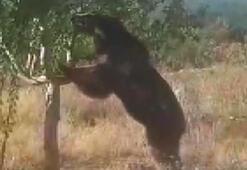 Yangın gözetleme kulesi bahçesine gelen ayı, elmaları yedi
