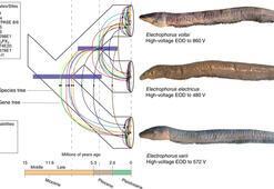 860 volt elektrik üretebilen yeni bir yılan balığı türü keşfedildi