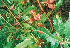 Terminatör böcekler ormanları koruyor