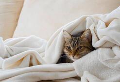 Kedi nezlesi nedir, nasıl tedavi edilir