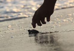 Caretta caretta yavrusu denizle buluştu