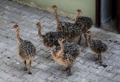 6 devekuşu yavrusu dünyaya geldi