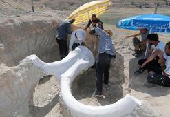 7,5 milyon yıllık fosil, alçılanarak taşındı