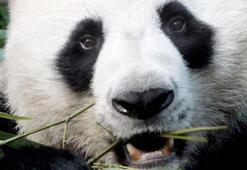 Panda Çuang Çuangın zamansız ölümüne Çinden soruşturma