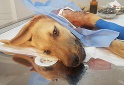 Bacağı kırık köpeğe 1,5 saatlik ameliyat