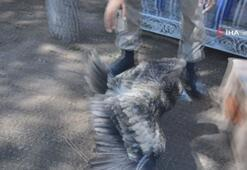 Yaralı akbaba, jandarma ekipleri tarafından kurtarıldı