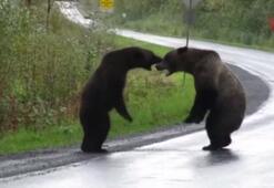 Yol ortasında ayı kavgası