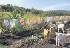 İlgi görmeyen ebru sergisini keçilere açtı