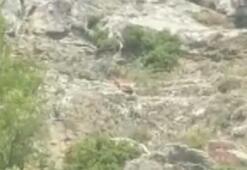 Nesli tükenmek üzere olan dağ keçileri böyle görüntülendi