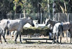 Faytonlar kalktı atlar huzur buldu