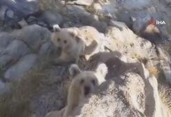 Nemrutun minik boz ayıları böyle görüntülendi..
