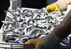 Karadenizde hamsi bolluğu balıkçıları sevindirdi