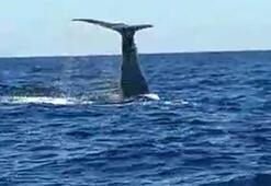 Çeşme açıklarında görülen balina ve yavrusu şaşırttı