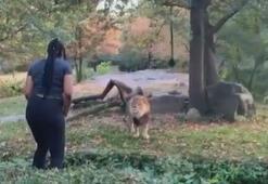 Aslanların yaşadığı alana girip, dikkatlerini çekmeye çalıştı