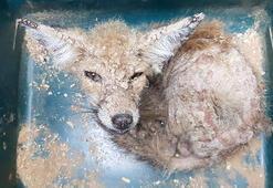 Uyuz yavru tilki, telef oldu