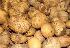 Niğdede patates rekoltesinin 900 bin ton olması bekleniyor