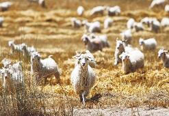 Keçi sayısı ikiye katlandı