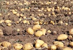 Patateste bolluk yılı