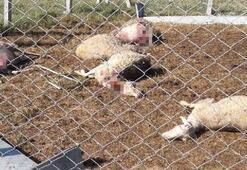 Aç kalan köpekler koyunları telef etti