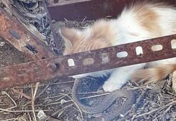 Sivas'ın avcı kedileri avladıkları yılanlarla besleniyor