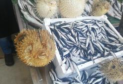 Türkiye kıyılarında 'İstilacı Balon Balığı' tehlikesi