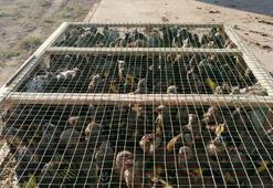 Suriye sınırında 2 bin saka kuşu ele geçirildi