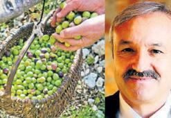 Akhisar'daki zeytin hasadı 18 Ekim'de şenlikle başlıyor