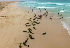 Yeşil Burun Adaları kıyılarına yüzlerce yunus vurdu