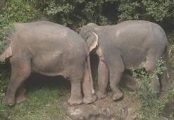 Taylandda şelale havuzuna düşen 6 fil öldü