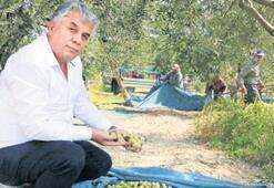 Akhisar'da hasat başladı