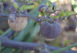 Tohumunu Çinden getirip ektiği mor çileğe, talep arttı