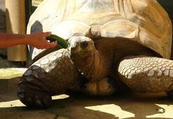 Türkiyenin en yaşlı kaplumbağası Tuki