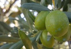 Zeytin ihracatı 142 milyon dolara ulaştı