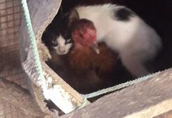 Yavru kediyi sahiplenen tavuk görenleri şaşırttı