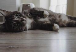 Kedinizin sizi sevdiğini gösteren davranışlar