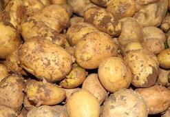 Yozgatta yerli patates hasadı yapıldı