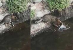 Kedinin balığı avlama anı kamerada
